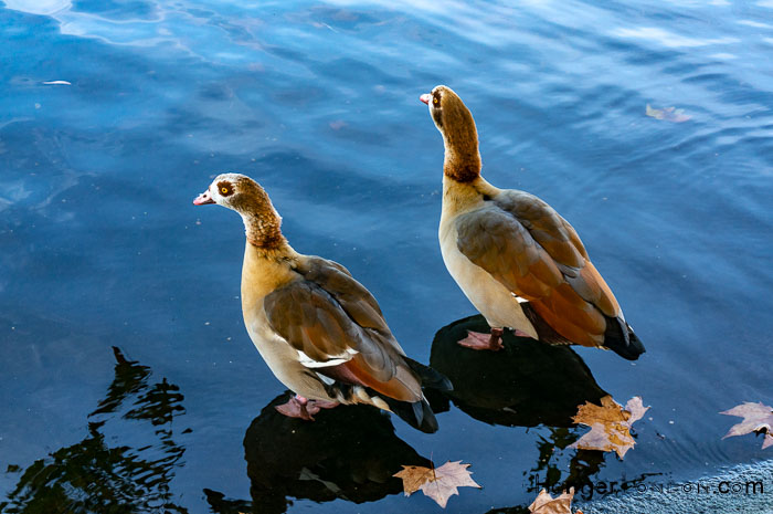 Thought to be Egyptian Geese Hyde Park Serpentine