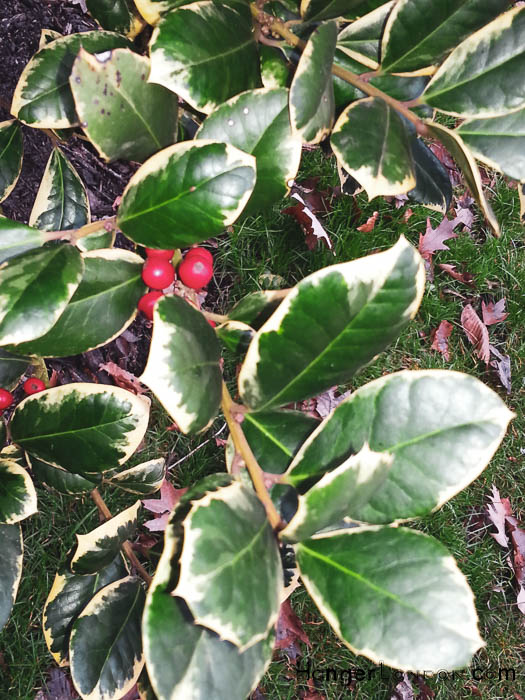 red berry holly